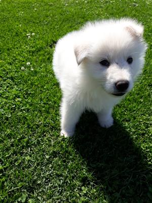White German Shepherd puppie