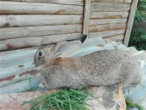 Quality flemish giant rabbits available to good homes