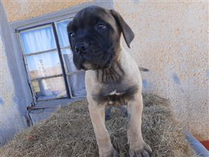 Pure Breed BullMatstive Pups for Sale