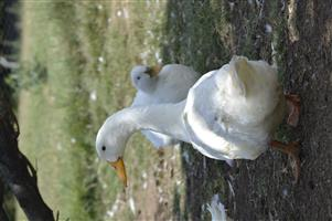 Pekin Ducks for Sale