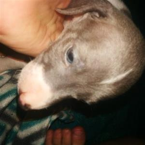 KUSA registered Italian Greyhound Puppy