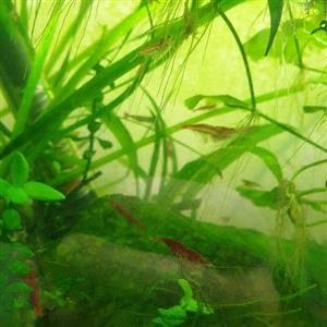 Cherry red shrimp, Blue dream, Apple snails
