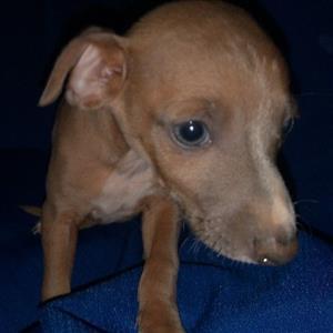 Kusa Registered Italian Greyhound