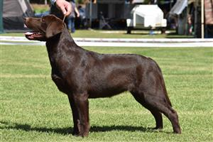 Imported Chocolate Labrador  puppies lines available