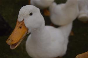 Pekin Eendjies/Pekin Ducks