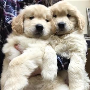 Adorable Golden Retriever Puppies