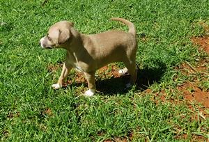 Italian greyhound puppies