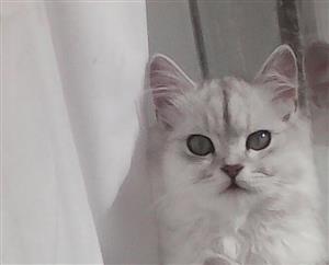 Silver Grey Chinchilla kittens for sale.
