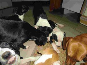 Cross breed boxer and foxksie puppies