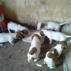 Jackrussel  terrier puppys for sale