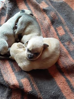 Chihuahua x sasagedog mix
