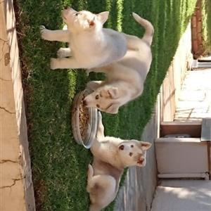Siberian huskie puppies