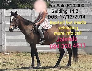 Dun Gelding for sale