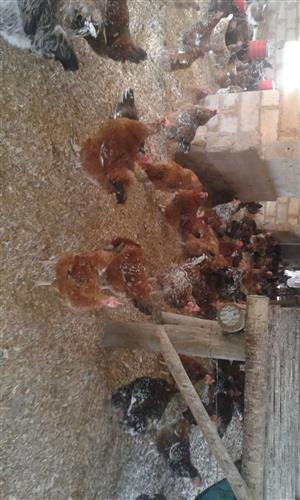 Poultry/chickens