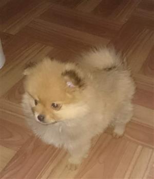Toypom (Pomeranian)  male puppy