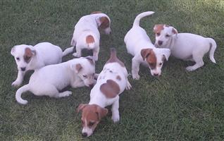 Jack Russel puppies Registered de wormed Vaccinated