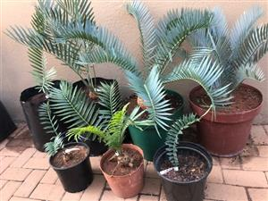 Cycad variety bundle for sale