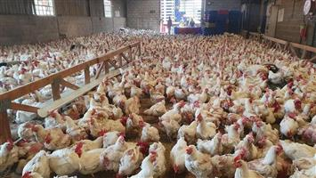 Point of Lay Chickens For Sale