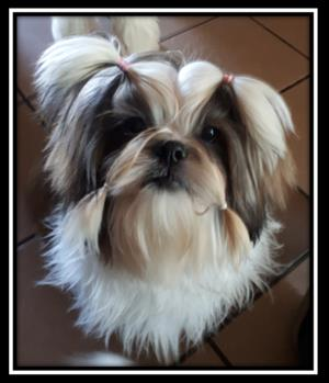 SHIH TZU PURE BRED PUPPIES AVAILABLE DREFCO