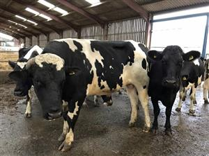 Dairy/Milking cattle Available