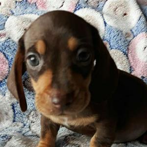 Beautiful purebred male Dachshund puppy