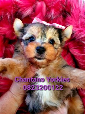 Yorkshire terrier girl available