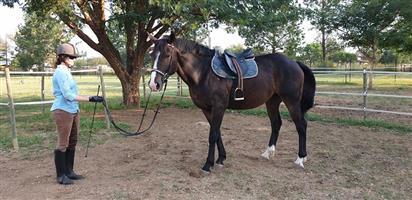 Stunning Percheron x Thoroughbred gelding for sale