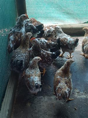 Boschvelder Chickens