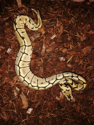 Ball python hatchlings and Yearlings for sale