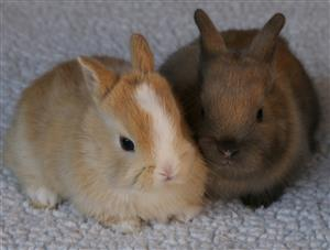 Angora dwarf & Netherland dwarf bunnies for sale - very cute!