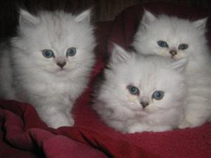 Beautiful Persian Chinchilla Kittens looking for forever homes