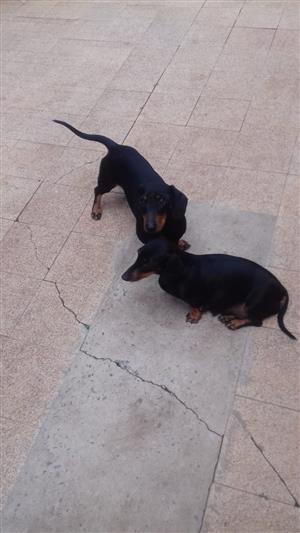 Duchund puppies