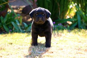 Kusa Registered Female Labrador Puppy