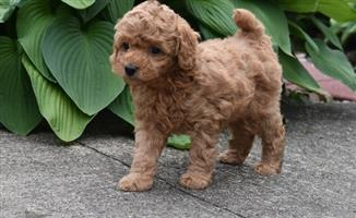 3 Red Toy Poodle Puppies