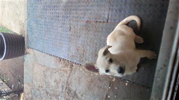 Swiss shepherd puppy for sale