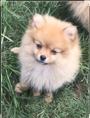 Miniature toy pom puppy