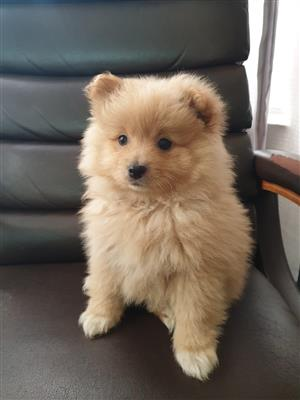 Toy pom puppy for sale