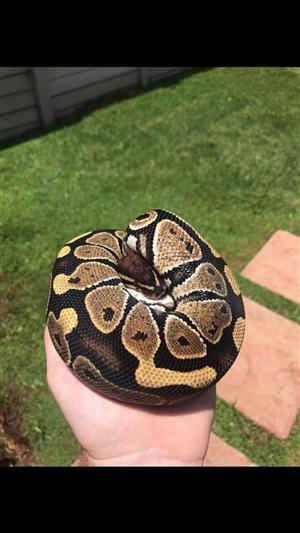 male phantom het axanthic ball python snake