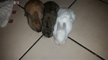 Dwarf rabbits for sale