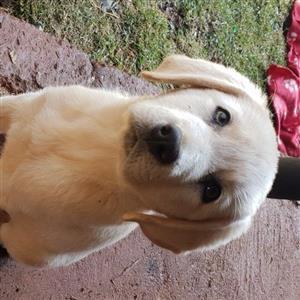 Golden Labrador Retriever pups