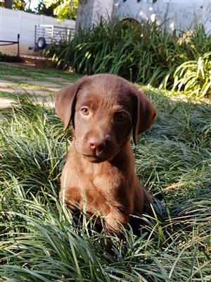 KUSA Registered Chocolate Labrador Puppy For Sale