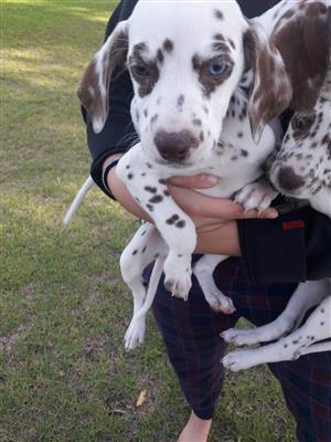 Female Dalmatian Puppy