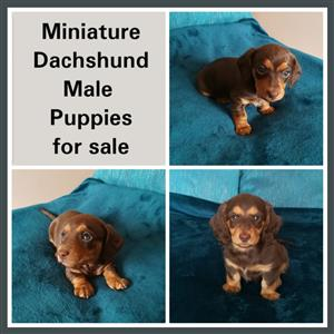 Miniature Dachshund Male puppies for sale