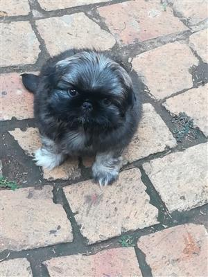 Pekingese Male Pups X2 for sale Negotiable.