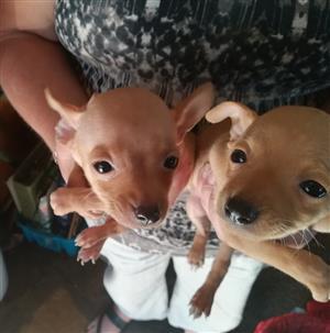 Deerhead Chihuahua puppies