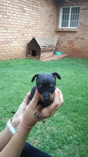 Black and tan minature dobermans for sale