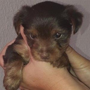 2 Female Choclate yorkies