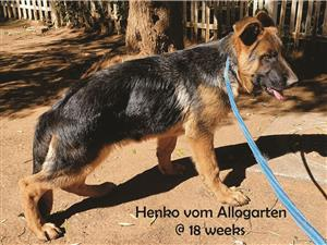 Show quality male German Shepherd puppy with strong temperament for sale