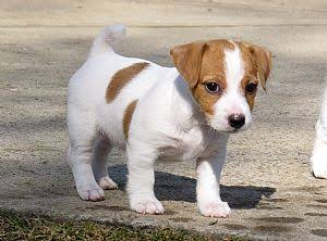 Short legged Jack Russell pups for sale R800