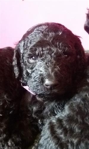 Chocolate Brown & Black Standard Poodle Puppies.